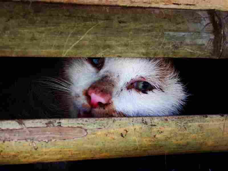 This picture taken on Jan. 27, 2015 shows a seized cat in one of the cages being transported in a truck in Hanoi.