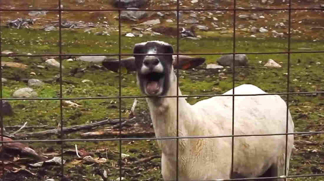 """If this farm animal, featured in the Sprint Super Bowl ad, could talk, it would say: """"Baaaaaad news for all the people who think I'm a goat. I'm really a sheep!"""""""