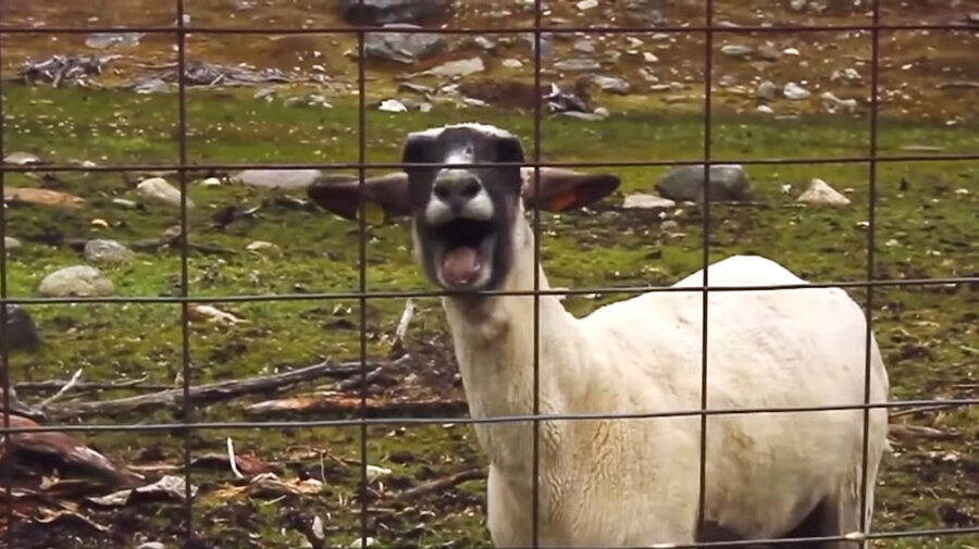 goatsheep_custom b0eae7cf94f3a6d6b65fae9ff2b5470954c9a68e s900 c85 that screaming goat in sprint's super bowl ad? it's actually a,
