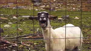 "If this farm animal, featured in the Sprint Super Bowl ad, could talk, it would say: ""Baaaaaad news for all the people who think I'm a goat. I'm really a sheep!"""