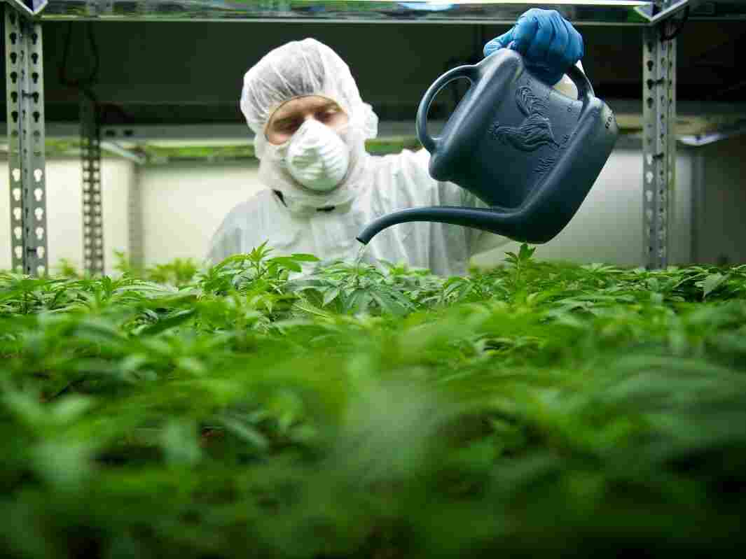 An employee waters plants at Tilray, the Canadian medical marijuana company owned by Privateer Holdings.
