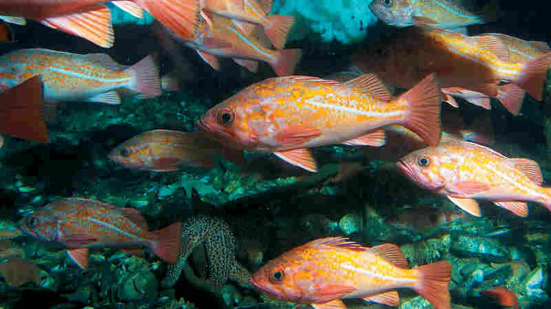 A school of vermilion rockfish. After being depleted decades ago by overfishing, rockfish — a genus of more than 100 tasty species — have made a remarkable comeback.