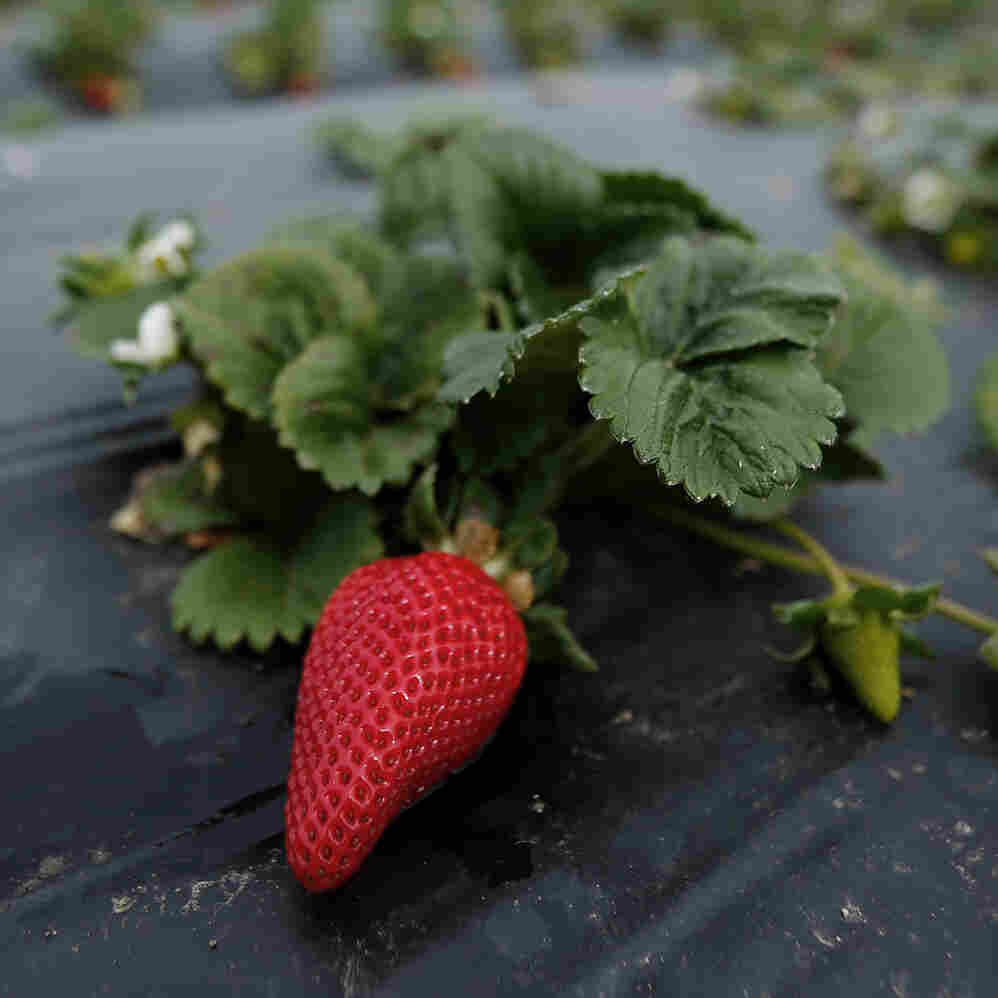 Albion strawberries, a variety created at UC Davis, grow on the Chino family farm in Rancho Santa Fe, Calif., on March 7, 2013.
