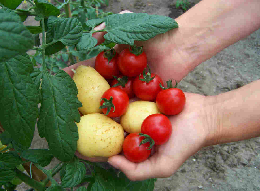 The plant is an early tomato grafted to a late-producing potato. The two can be harvested throughout the season.
