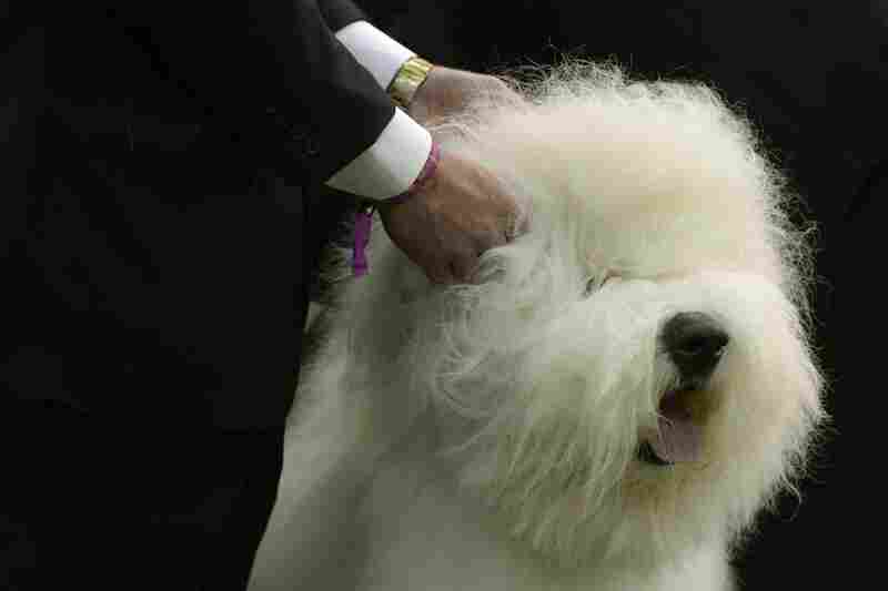 An old English sheepdog tolerates the prodding hands of judges at the Westminster Kennel Club dog show. The (relatively) concisely named Bugaboo's Picture Perfect won best of breed.