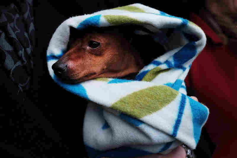 A miniature pinscher is kept warm by his owners while waiting for a shuttle. Marlex N Marisol Bold Moves won best of breed.