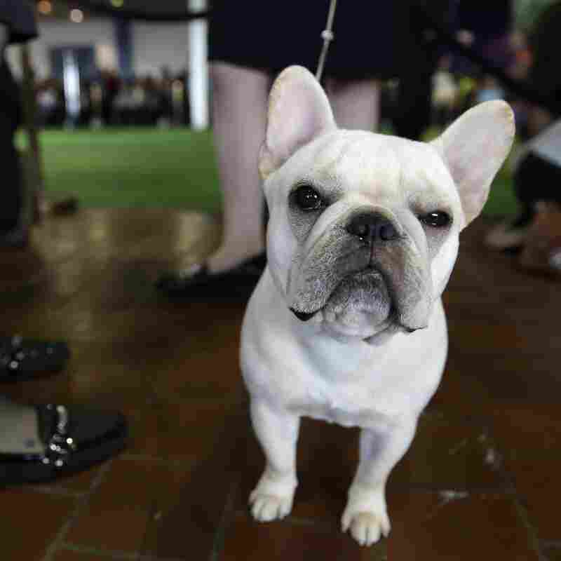 A French bulldog waits to enter the ring at the Westminster Kennel Club dog show. Fulla Bull Soulja Boy got the nod as best of breed.