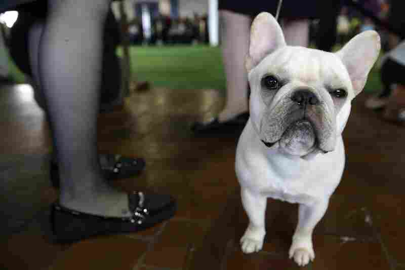 A French bulldog waits to enter the ring. Naturally, Fulla Bull Soulja Boy got the nod as best of breed.