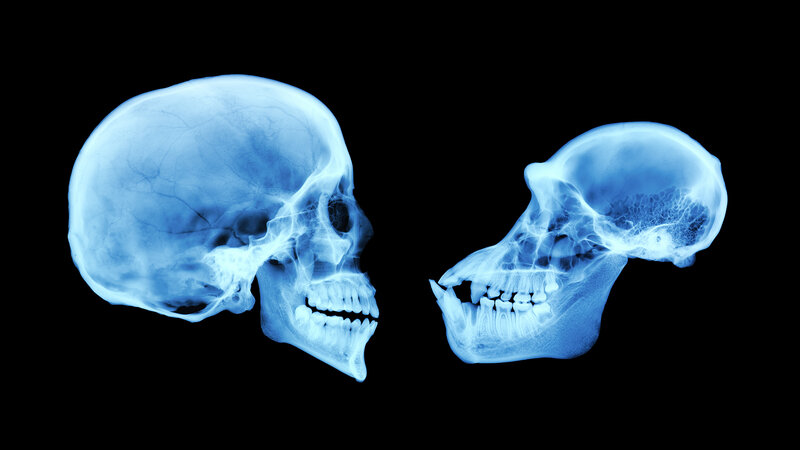 The size of the brain of a chimpanzee (right) is considerably smaller than that of a human brain. Probably multiple stretches of DNA help determine that, geneticists say.