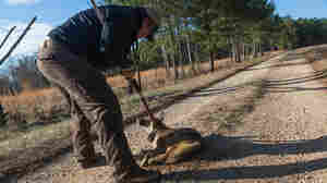Catching A Southern Coyote, Then Letting It Go In The Name Of Science
