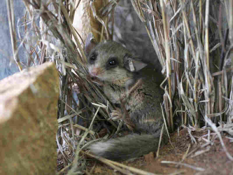 The woodland dormouse is one of several species of rodent found in Tanzanian forests and farms.