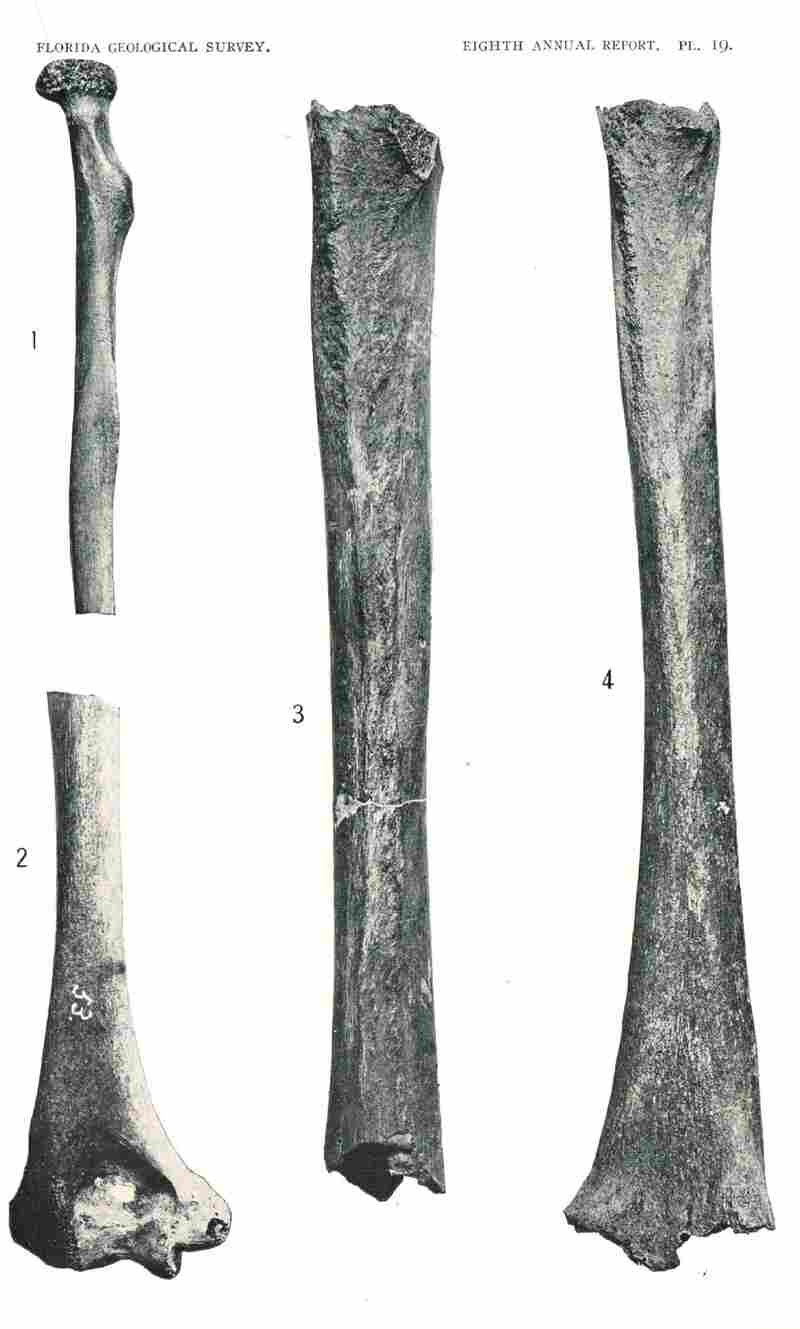 From Sellards' 1916 report, fossil remains from Plate 19 show evidence of human bones: Fig. 1 left radius, Fig. 2 left humerus, Fig. 3 Left femur, Fig. 4 Right femur.