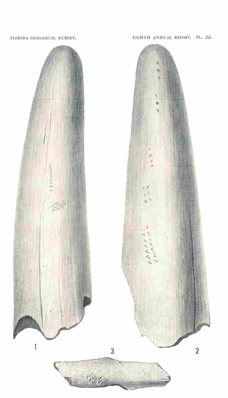 In Sellards' 1916 Florida Geological Survey report, markings suggest evidence of humans. Figs. 1-2 show engravings on a tusk from the Pleistocene of Florida. It's likely a lower, probodoscidian tusk of Mammut americanum. Fig. 3 is a bird bone fragment with markings.