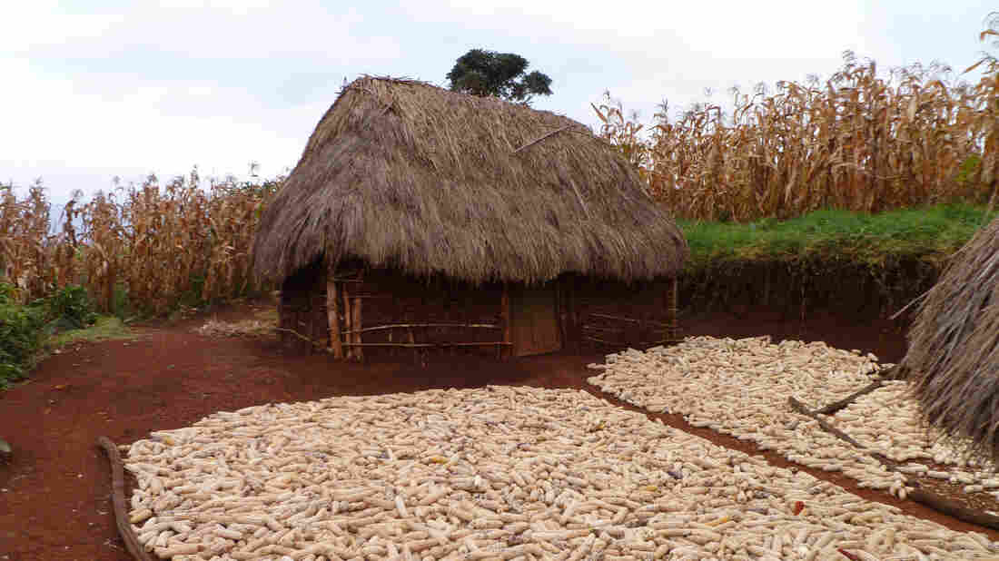 The maize stored outside this farmer's house is a magnet for rodents that could host plague-carrying fleas.