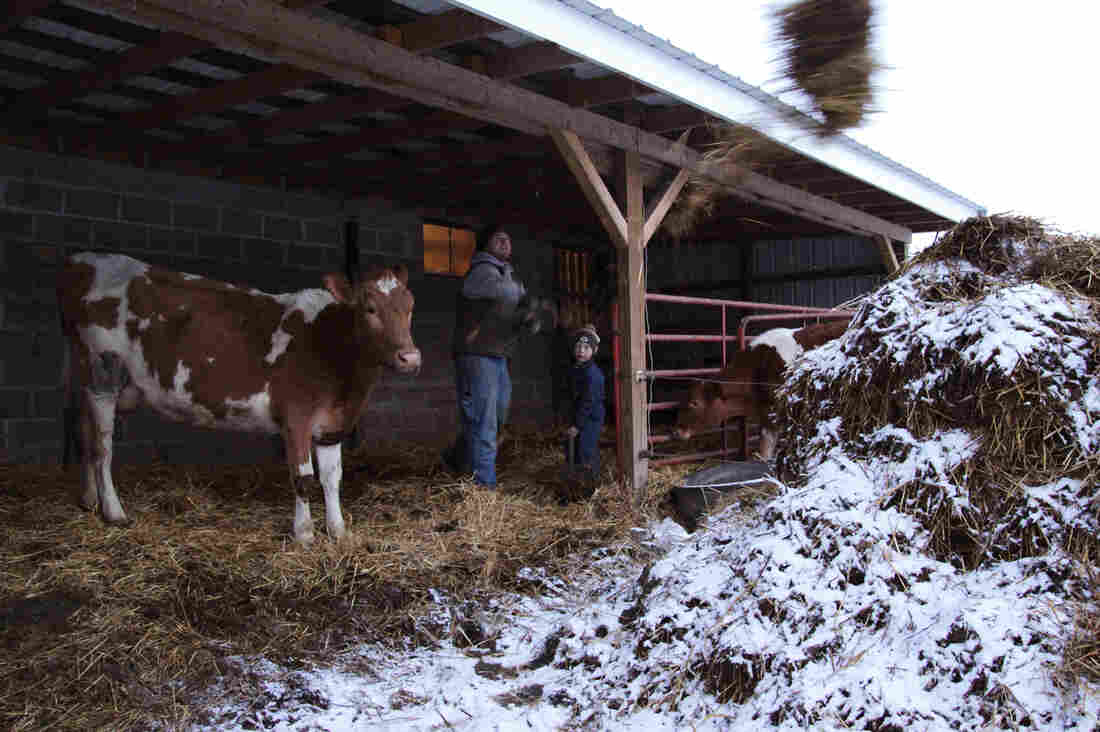 Joe Zanger and his son, Abram, clean out the cow barn. For the past few years, Zanger has been selling raw milk by the gallon to a growing number of customers living in Quincy, Ill., the city down the road from his dairy.