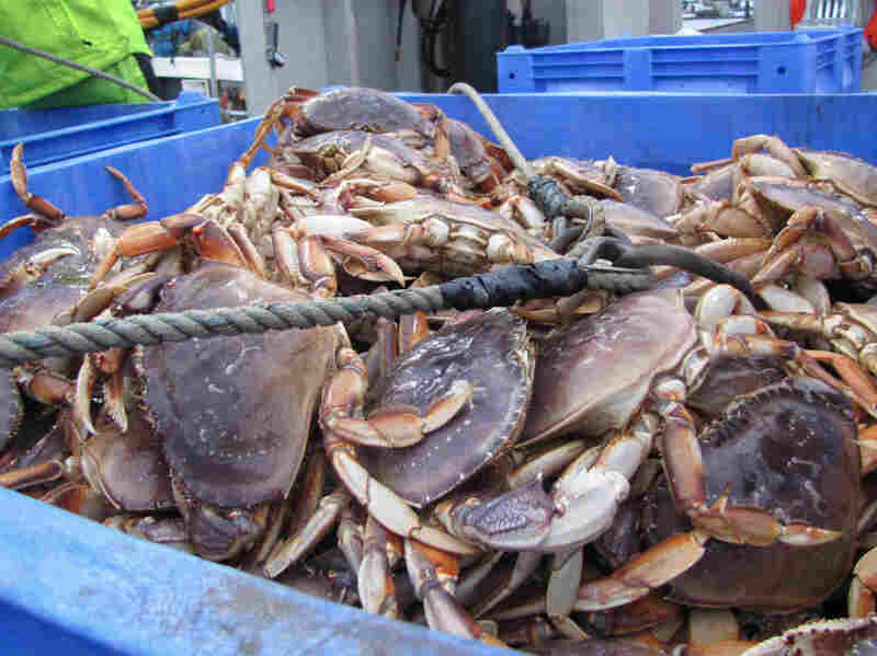Dungeness crab is unloaded at the Quinault docks in Westport, Wash. About one-fifth of the tribe makes their living in the fishing industry. They're worried about how oil shipping could affect the environment — and their way of life.
