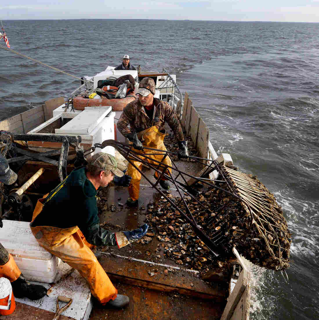 "Crew members pull an oyster dredge in Tangier Sound of the Chesapeake Bay near Deal Island, Md., in 2013. A study found that the Chesapeake Bay shellfishery is a ""hot zone"" for ocean acidification."