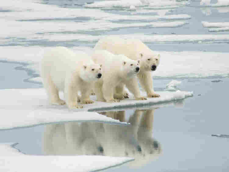 Polar bears on an ice floe in Norway.
