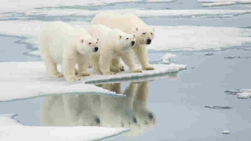 Polar bears on an ice floe in Norway.