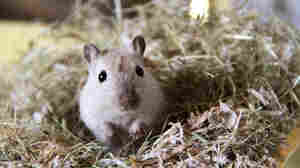 Gerbils Likely Pushed Plague To Europe in Middle Ages