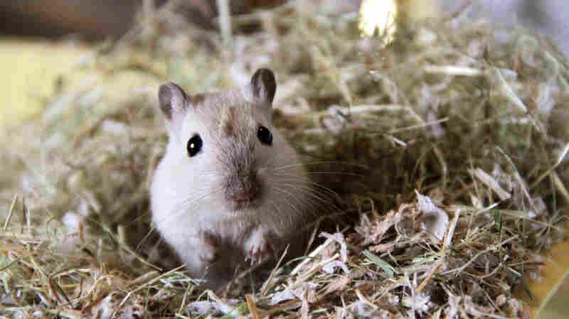 Who, me? The Asian relative of this domestic gerbil is a well-known host to the bacteria that cause plague.