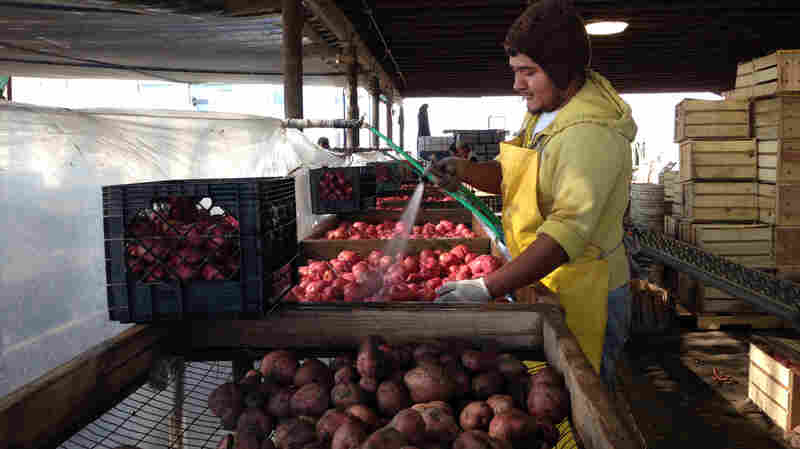 Nahun Villagomez Sanchez washes freshly dug Red LaSoda potatoes at T&D Willey Farms near Madera, Calif.