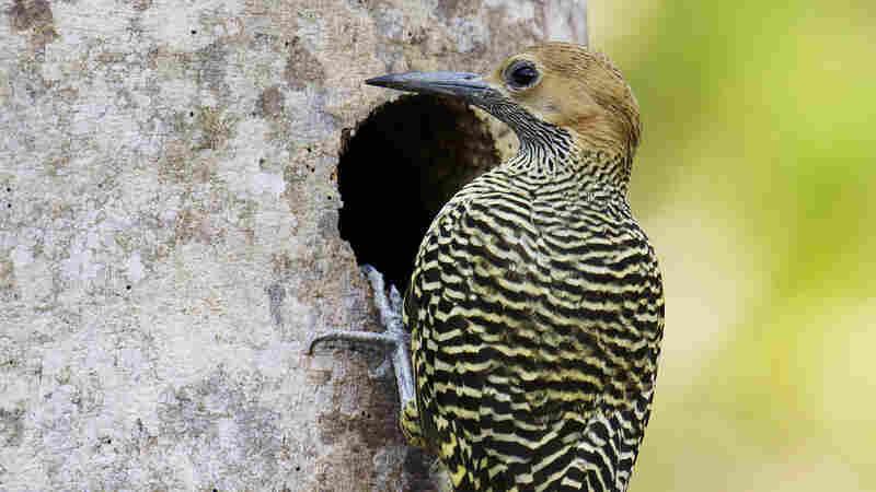 Fernandina's Flicker (Colaptes fernandinae), a woodpecker found only in Cuba.