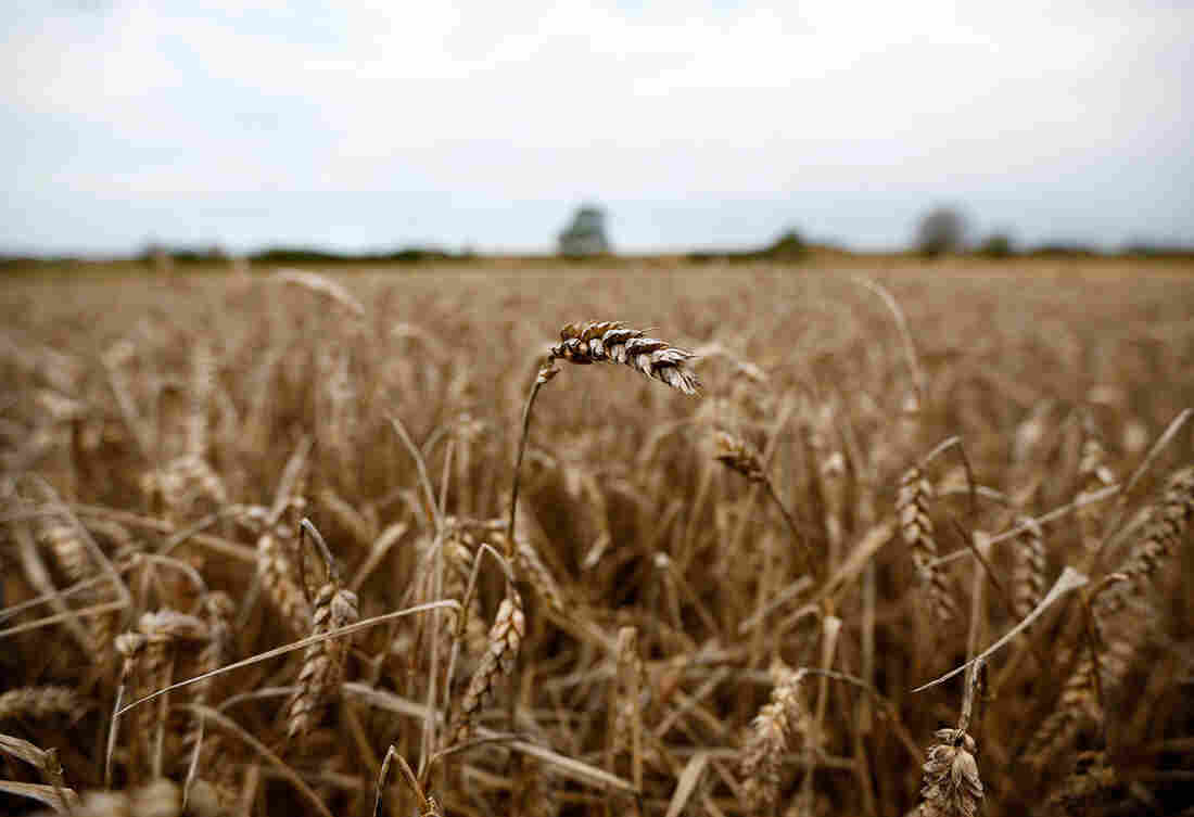 A field of unharvested wheat is seen in Ashby-de-la-Zouch, England, in 2012. Wheat wasn't cultivated in Britain until some 6,000 years ago, but DNA evidence suggests early Britons were eating the grain at least 8,000 years ago.