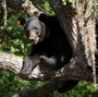 To Curb Bear Population, Florida Reinstates Hunting Season
