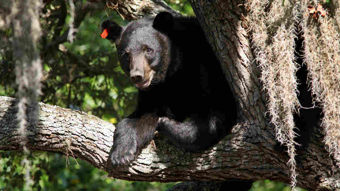 This black bear was spotted atop a tree in Tampa, Fla., on May 17, 2013. The bear population has been on the rise, so state wildlife officials are calling for a bear hunting season.