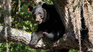 To Curb Bear Population, Florida Reinstates Hunting Season