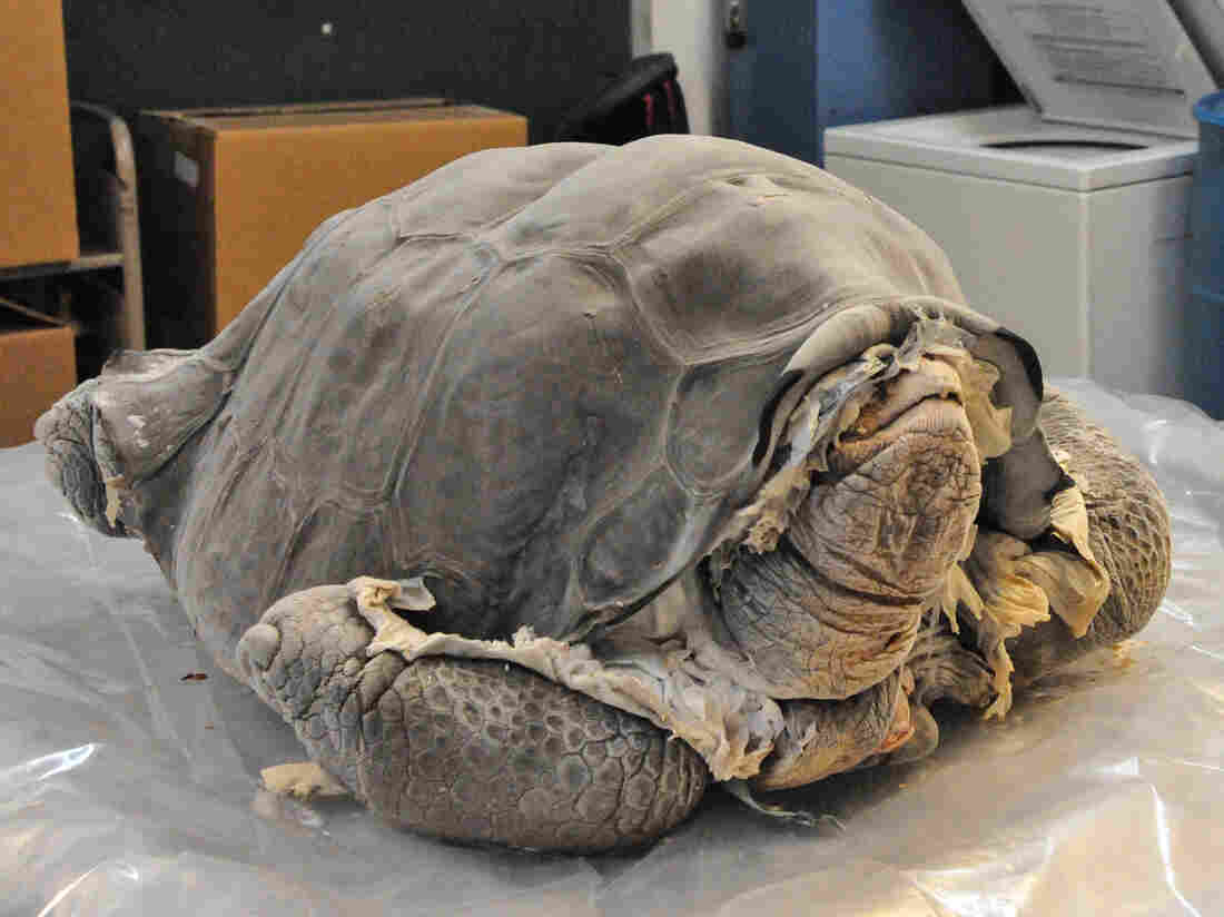 After his death, George was carefully frozen and sent to the American Museum of Natural History in New York. When taxidermists there unwrapped him, they found he was incredibly well-preserved.