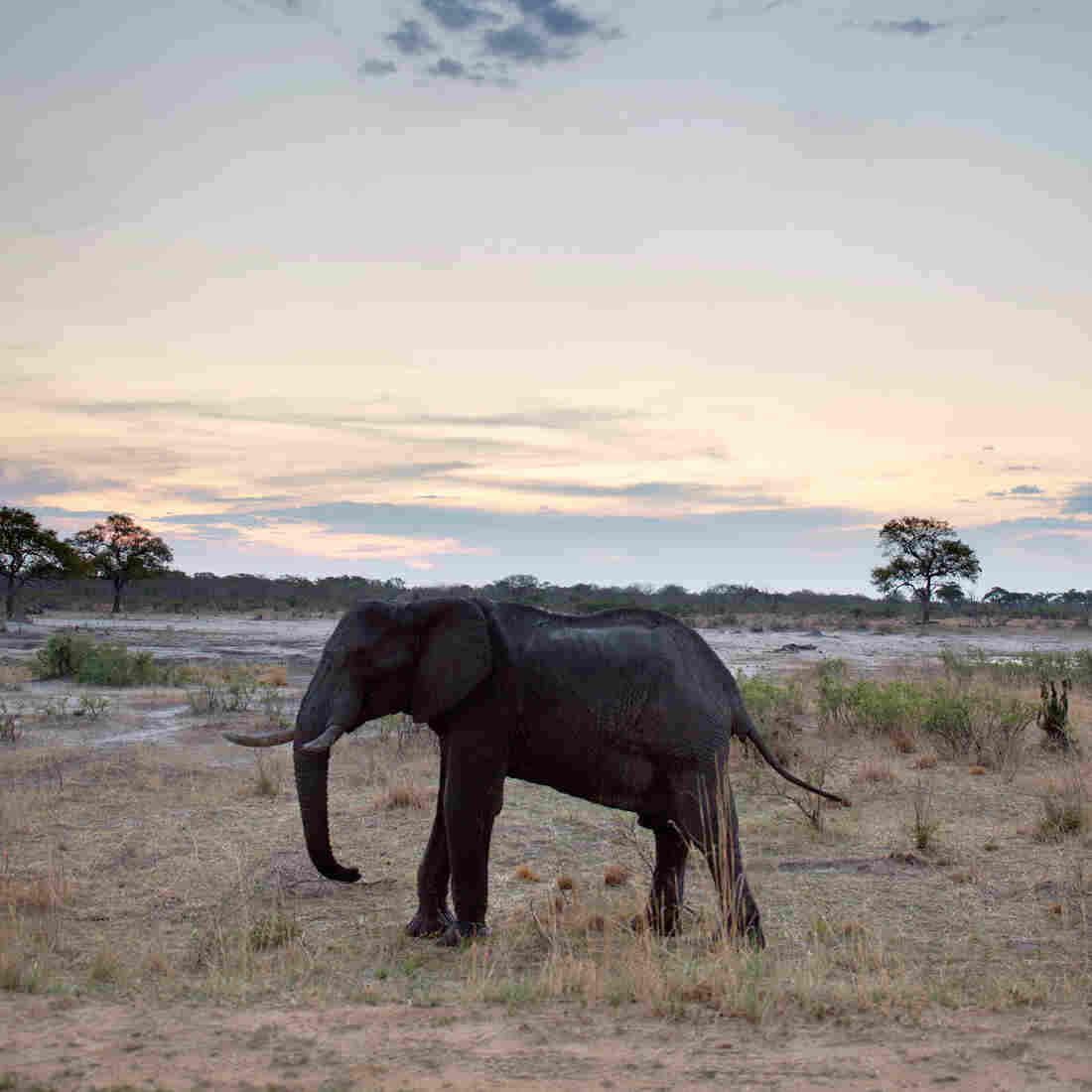 Elephant On The Menu? It's Not Just A Birthday Dish For Robert Mugabe