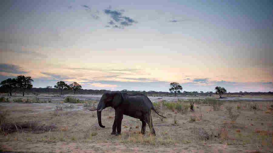 An African elephant in Zimbabwe's Hwange National Park is a draw for tourists.