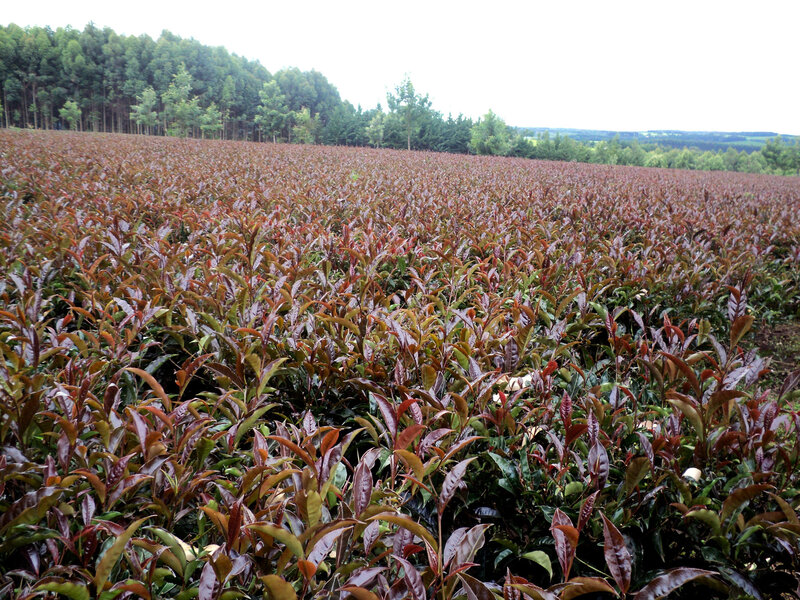 Tea Tuesdays: Kenyan Farmers See Green In The Color Purple : The