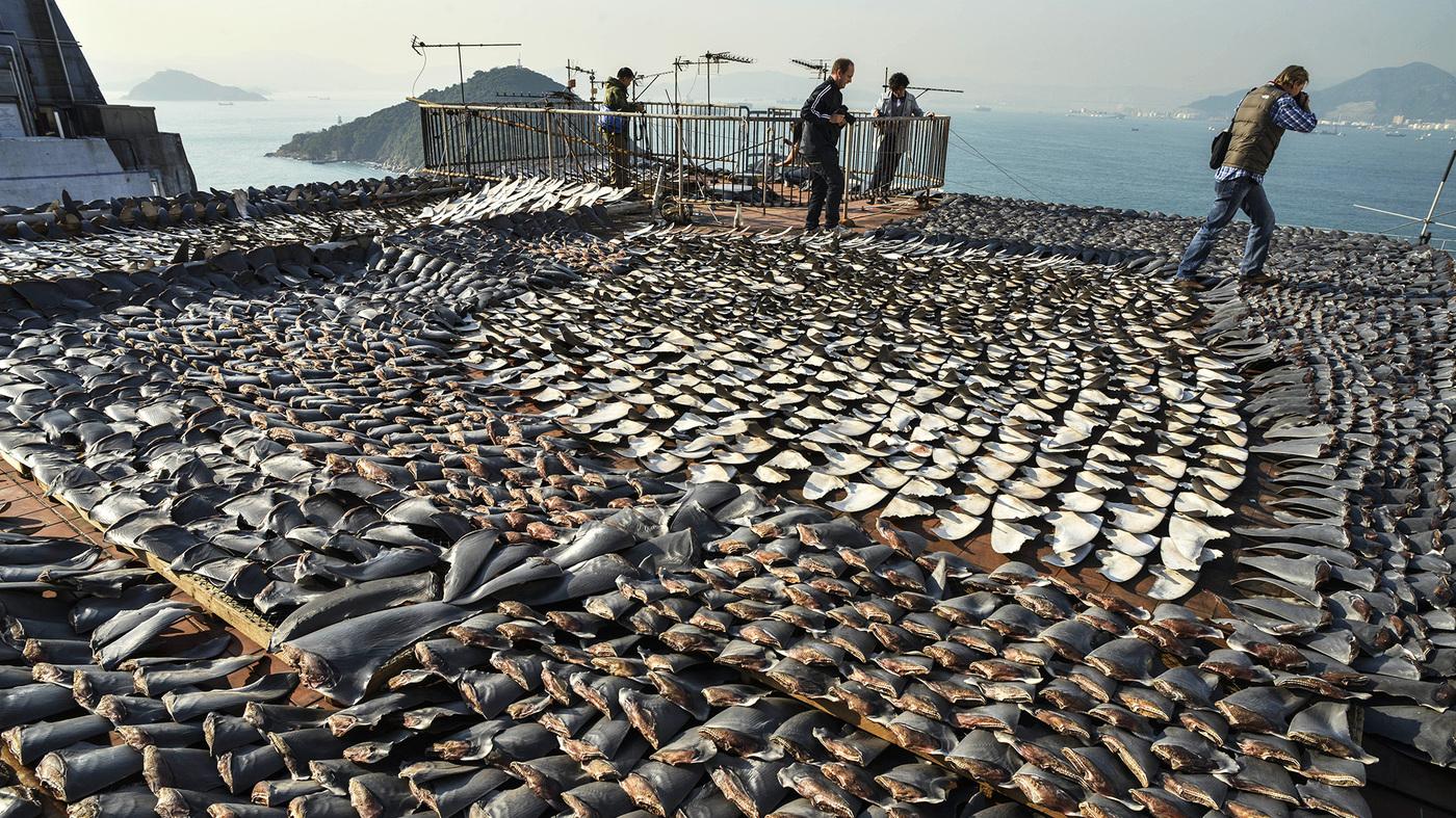Why Shark Finning Bans Aren't Keeping Sharks Off The Plate ...