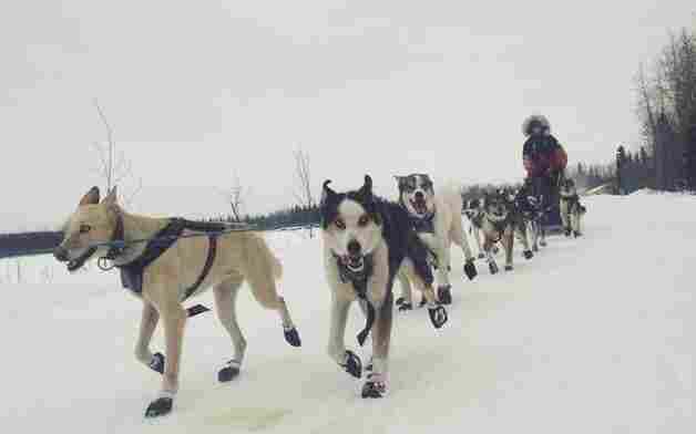Aliy Zirkle drives her dog team during the 2014 Iditarod.