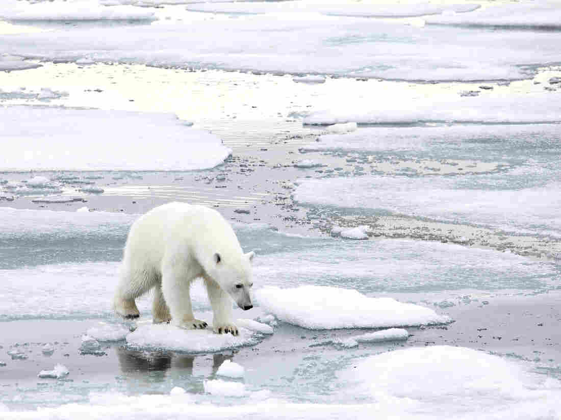 Climate skeptic Willie Soon has argued in the past that too much ice is bad for polar bears. An investigation into Soon's funding found he took money from the fossil fuel industry and did not always disclose that source.