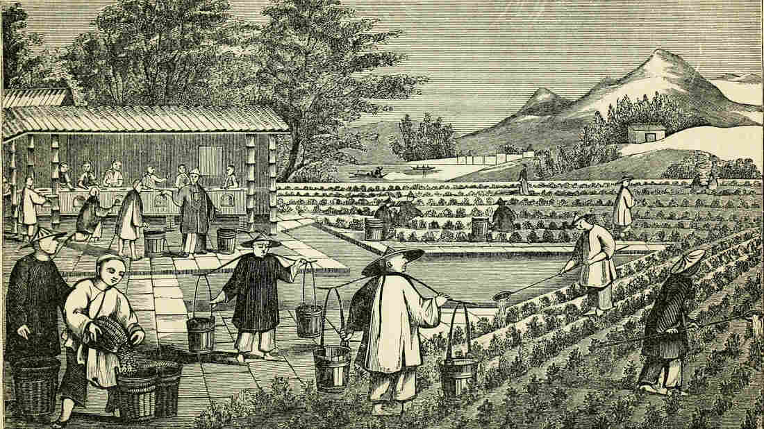 An illustration from a book published in 1851 depicts the cultivation of tea in China. In the mid-19th century, China controlled the world's tea production. That soon changed, thanks to a botanist with a penchant for espionage.
