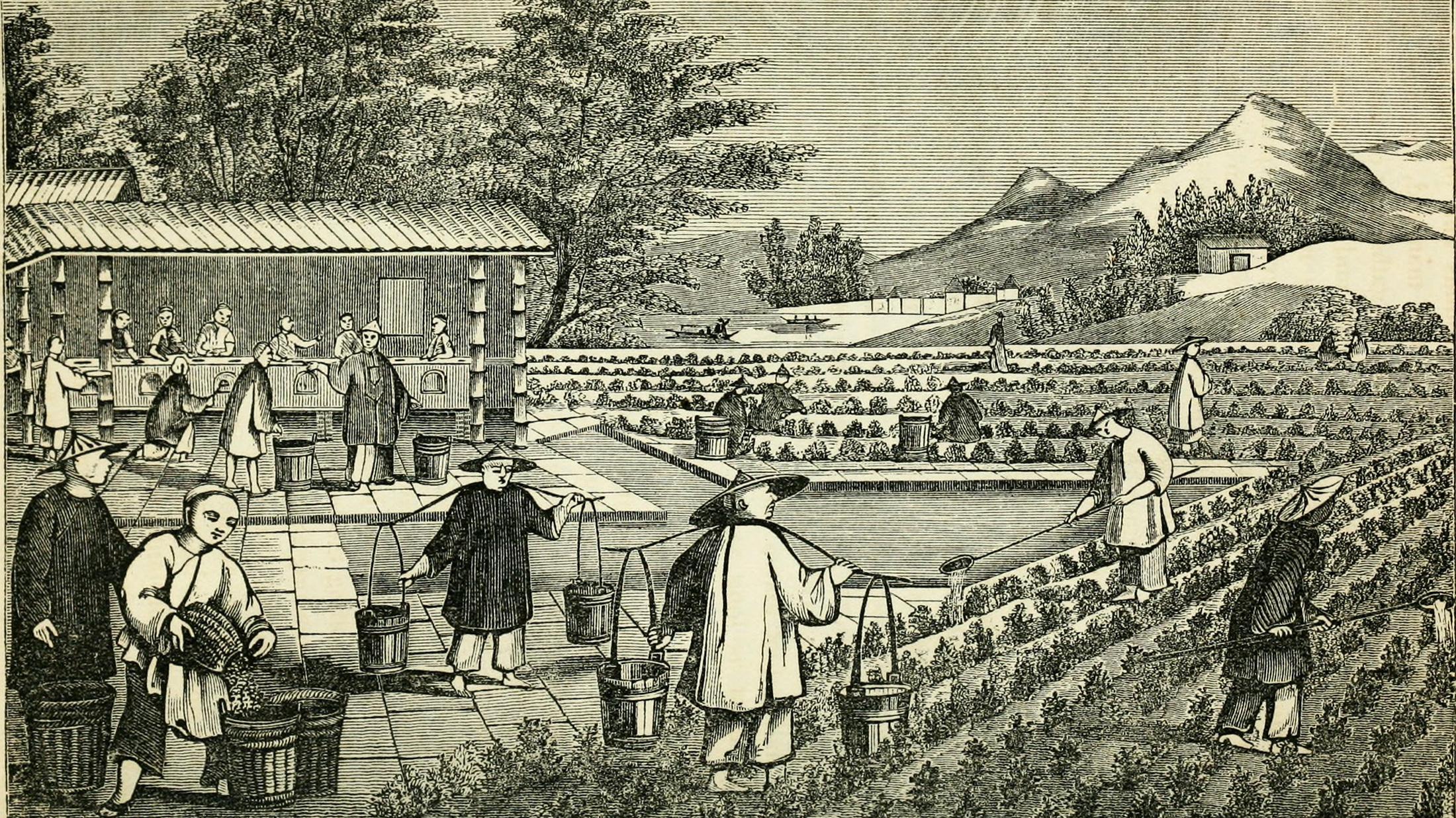 Tea Tuesdays: The Scottish Spy Who Stole China's Tea Empire
