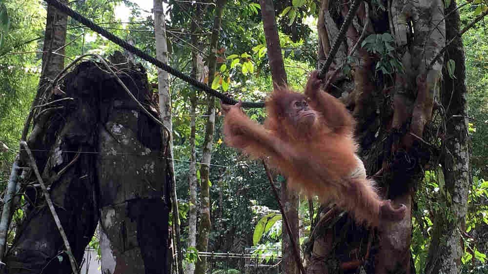 As Palm Oil Farms Expand, It's A Race To Save Indonesia's Orangutans