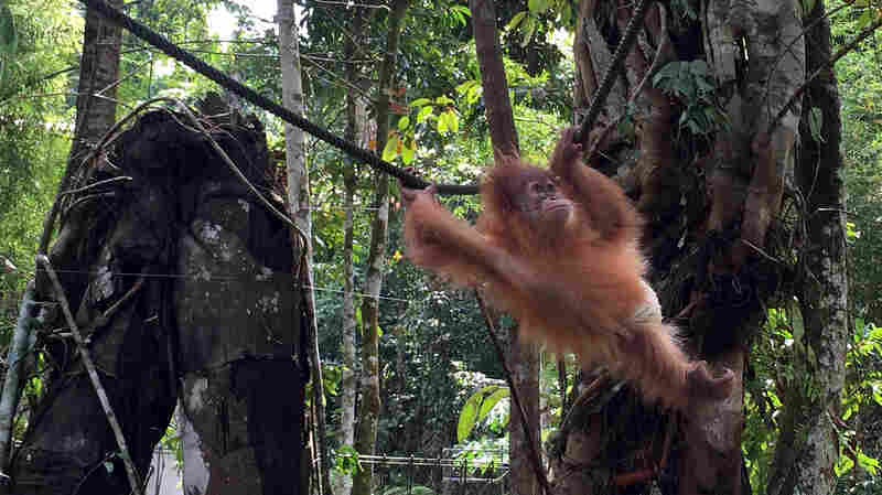 A baby orangutan wearing a diaper swings through the trees at the Sumatran Orangutan Conservation Program outside Medan, capital of Indonesia's North Sumatra province. The program takes mostly orphaned orangutans, nurses them back to health and releases them back into the wild.