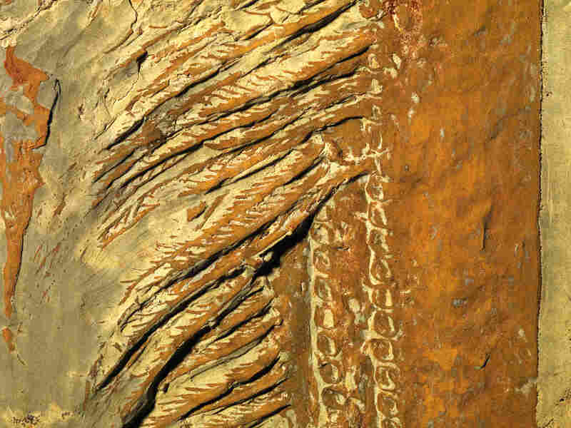 Detail of the fossilized baleen-like scooper of Aegirocassis benmoulae, discovered in Morocco.