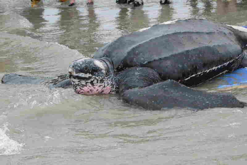Yawkey was released back into the Atlantic on Thursday. The leatherback turtle was found stranded last Saturday.