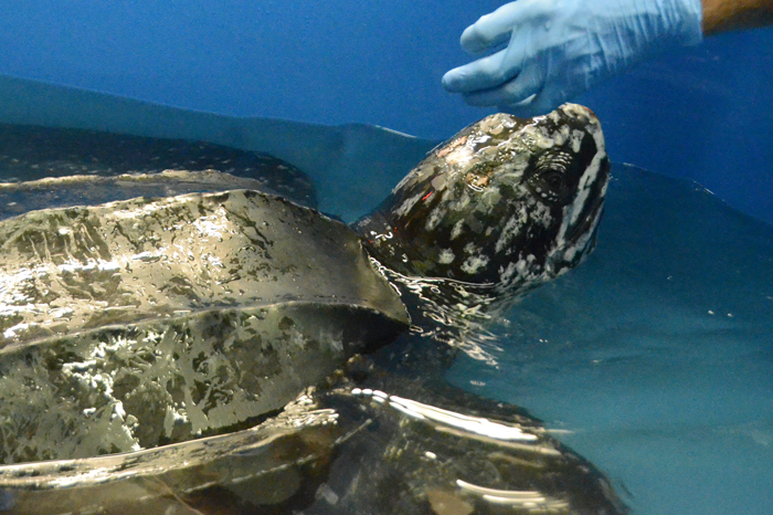 The staff of the Sea Turtle Hospital at the South Carolina Aquarium named a stranded leatherback turtle Yawkey, after the area where it was found stranded Saturday.