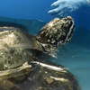 After Rescue, Massive Sea Turtle Released Into Atlantic