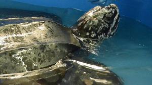 After Rescue, Massive Sea Turtle Released Into Atlantic