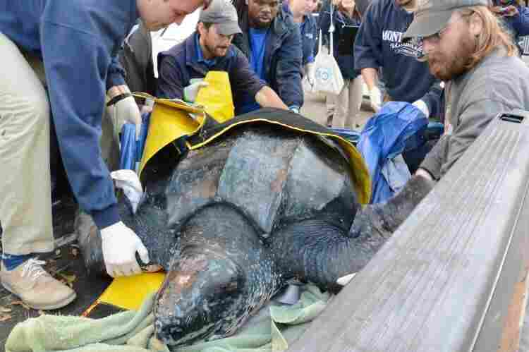 It took five people to lift the turtle as part of the rescue effort.