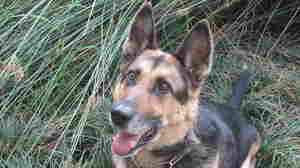 """Indiana """"Indy"""" Bones reports for duty on a field investigation, in which the dog sniffs to detect human remains for a reopened cold case."""