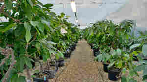 Rows of potted cocoa plants from around the world. Before a cocoa variety from one country can be planted in another, it first makes a pit stop here, at a quarantine center in rural England.